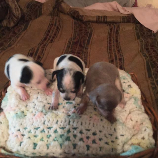 Best Chihuahua Puppies Exotic Colors For Sale In La Grange Texas