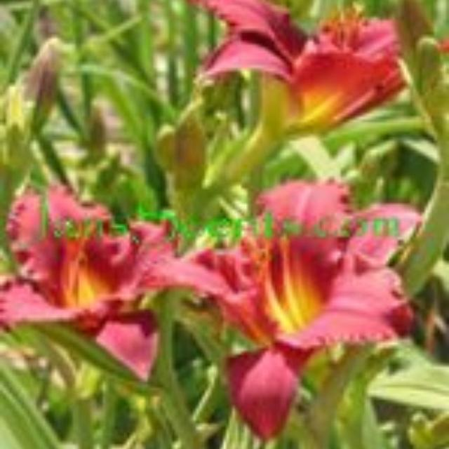 Find More Reblooming Dwarf Daylily For Sale At Up To 90 Off