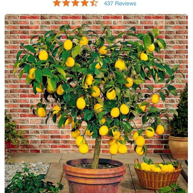 Iso Meyer Lemon Tree