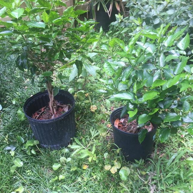 Find More Four Braided Hibiscus Plants For Sale At Up To 90 Off
