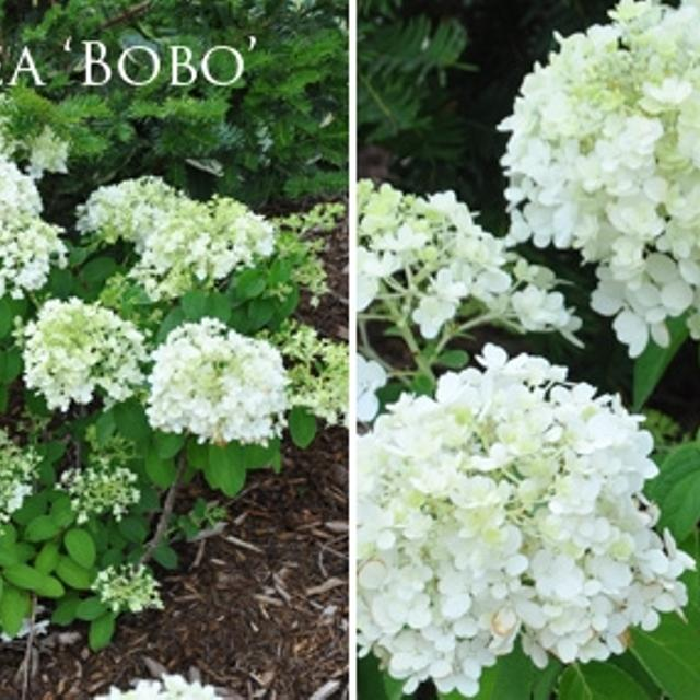 Best Hydrangea Bobo White Flowers Blooming Bush Beautiful Perennial