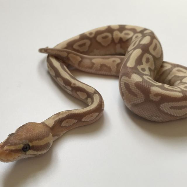 Find More 2017 Male Banana Mojave Ball Python Hatchling For Sale At
