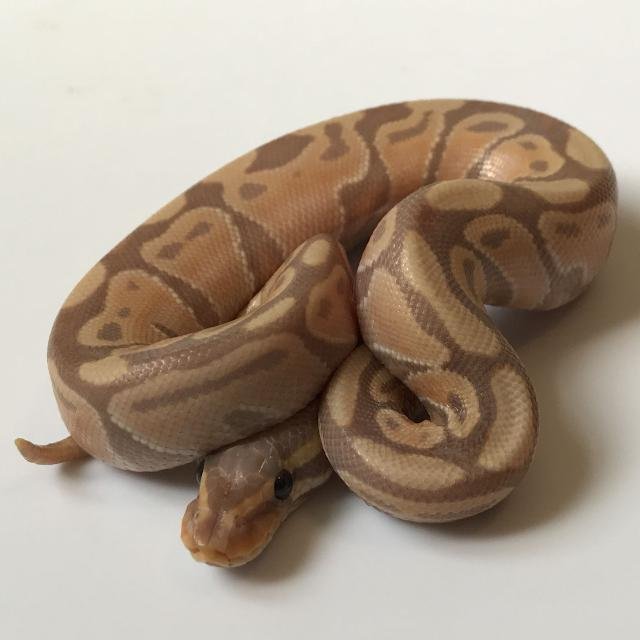 Find More 2017 Male Banana Ball Python Hatchling For Sale At Up To