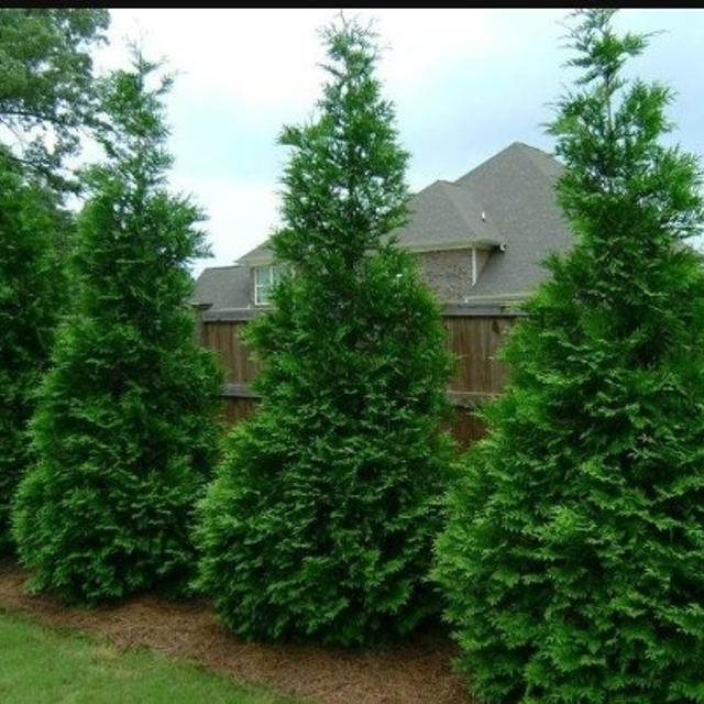 Best Thuja Green Giant Arborvitae Tree Privacy Fence For In