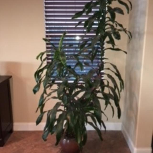 Best Three Large Potted Live Indoor Plants for sale in Temecula ...