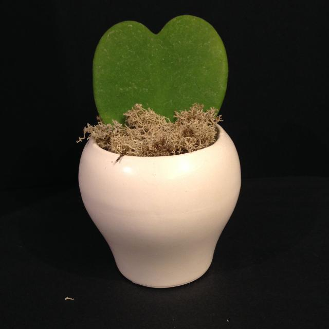 Find More Heart Shaped Hoya In New Ceramic Planter For Sale At Up To