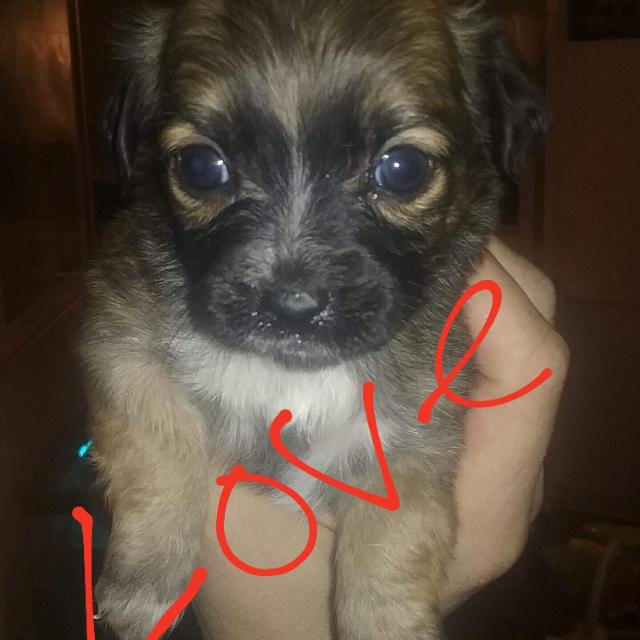 Find More Long Hair Chihuahua Puppy For Sale At Up To 90 Off