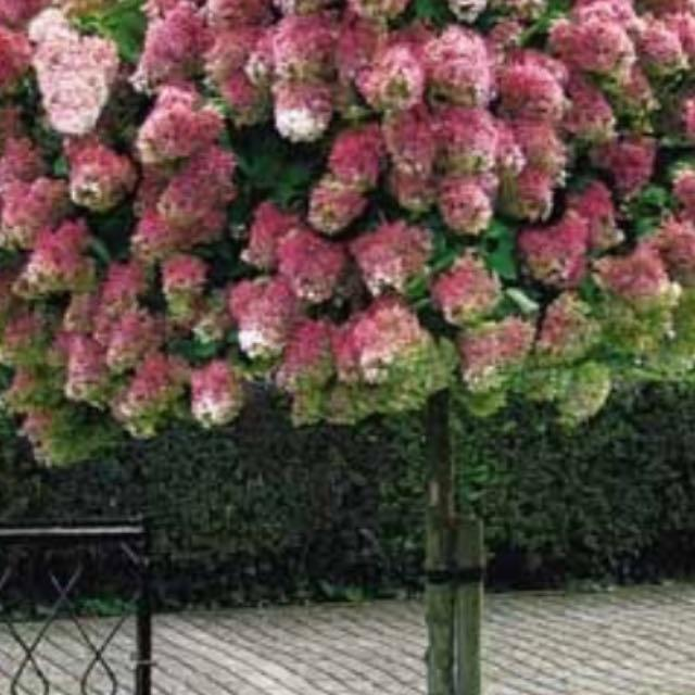 Beautiful Flowering Hydrangea Tree