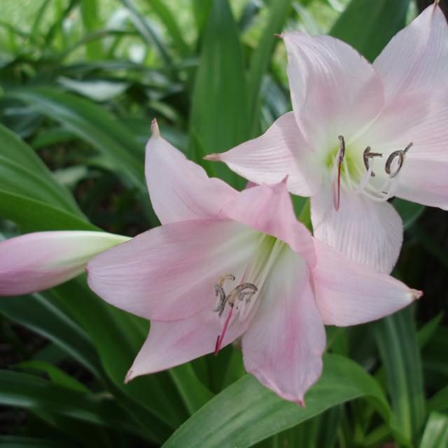 find more pink crinum lily bulbs cape lily variety for sale at up