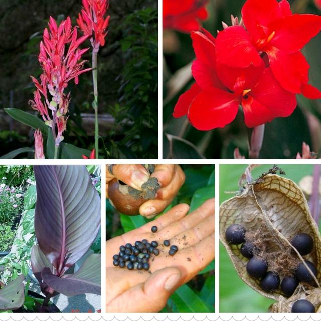 Red Canna Lily Seeds These Are About The Size Of A Bb Very Easy To Grow 10 For 1