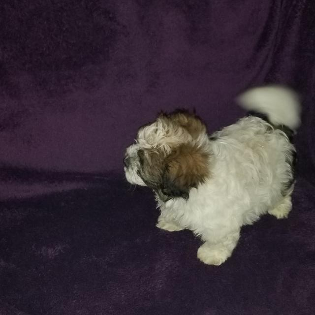 Best Shihtzu Puppy For Sale In Mcdonough Georgia For 2018