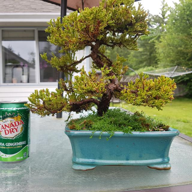 Best Juniper Bonsai For Sale In Gibsons British Columbia For 2021