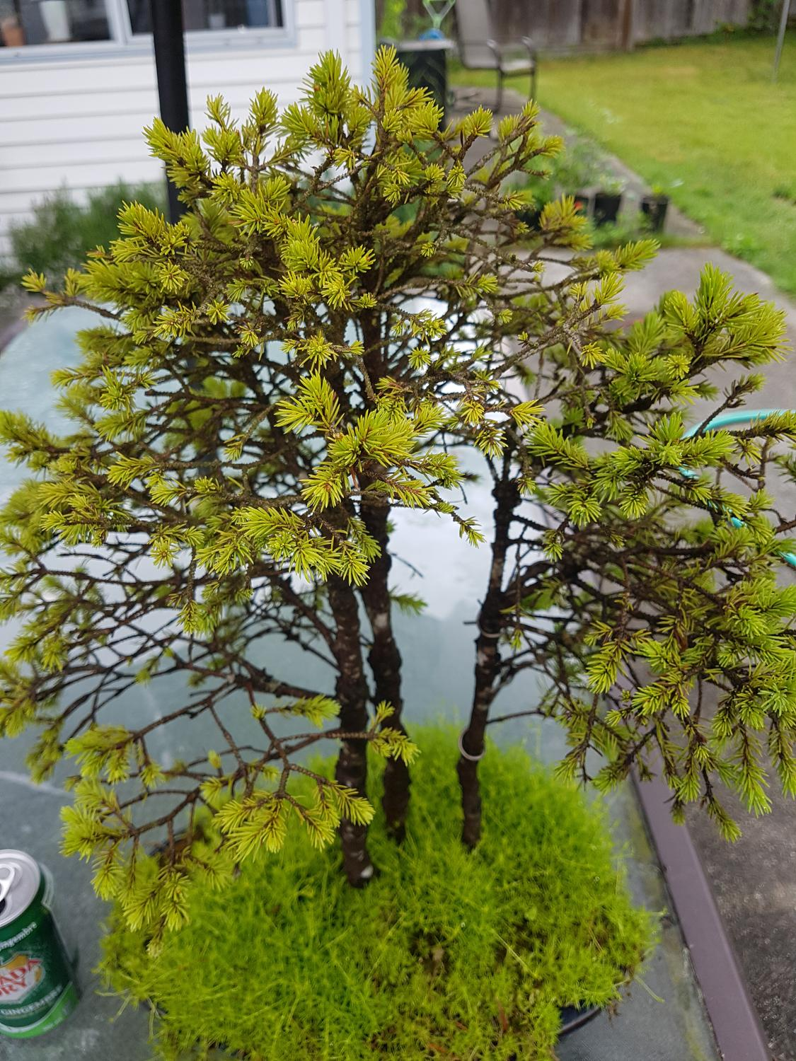 Best Alberta Spruce Bonsai For Sale In Gibsons British Columbia For 2021