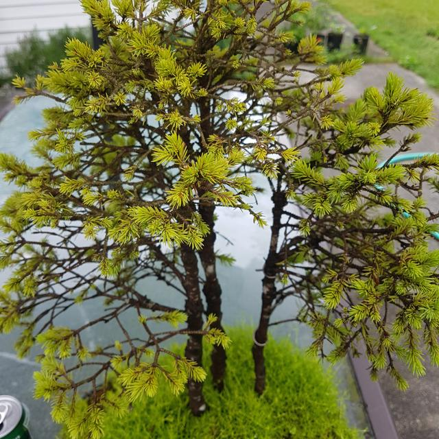 best alberta spruce bonsai for sale in gibsons british columbia for