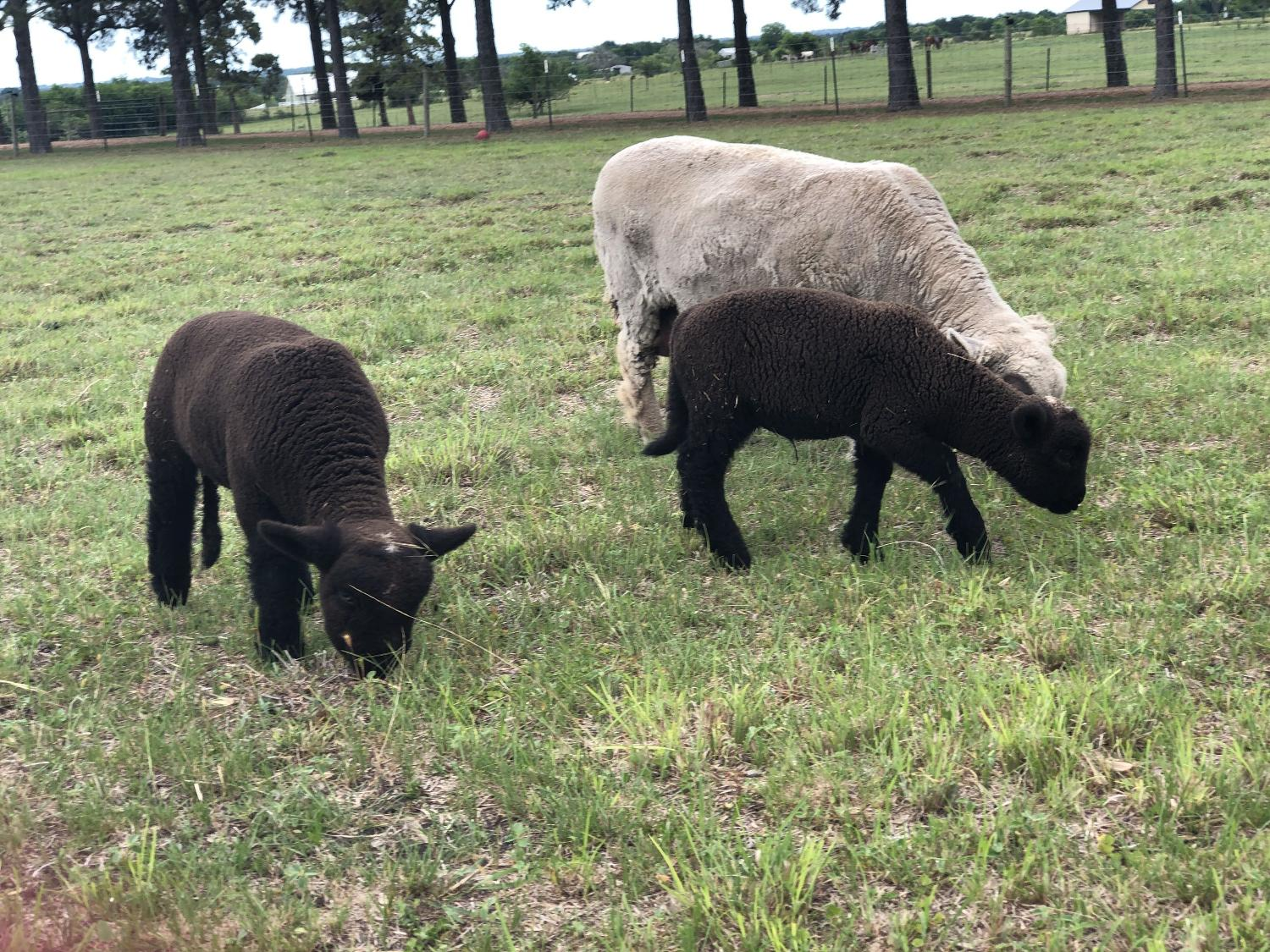 North American babydoll Southdown sheep for sale