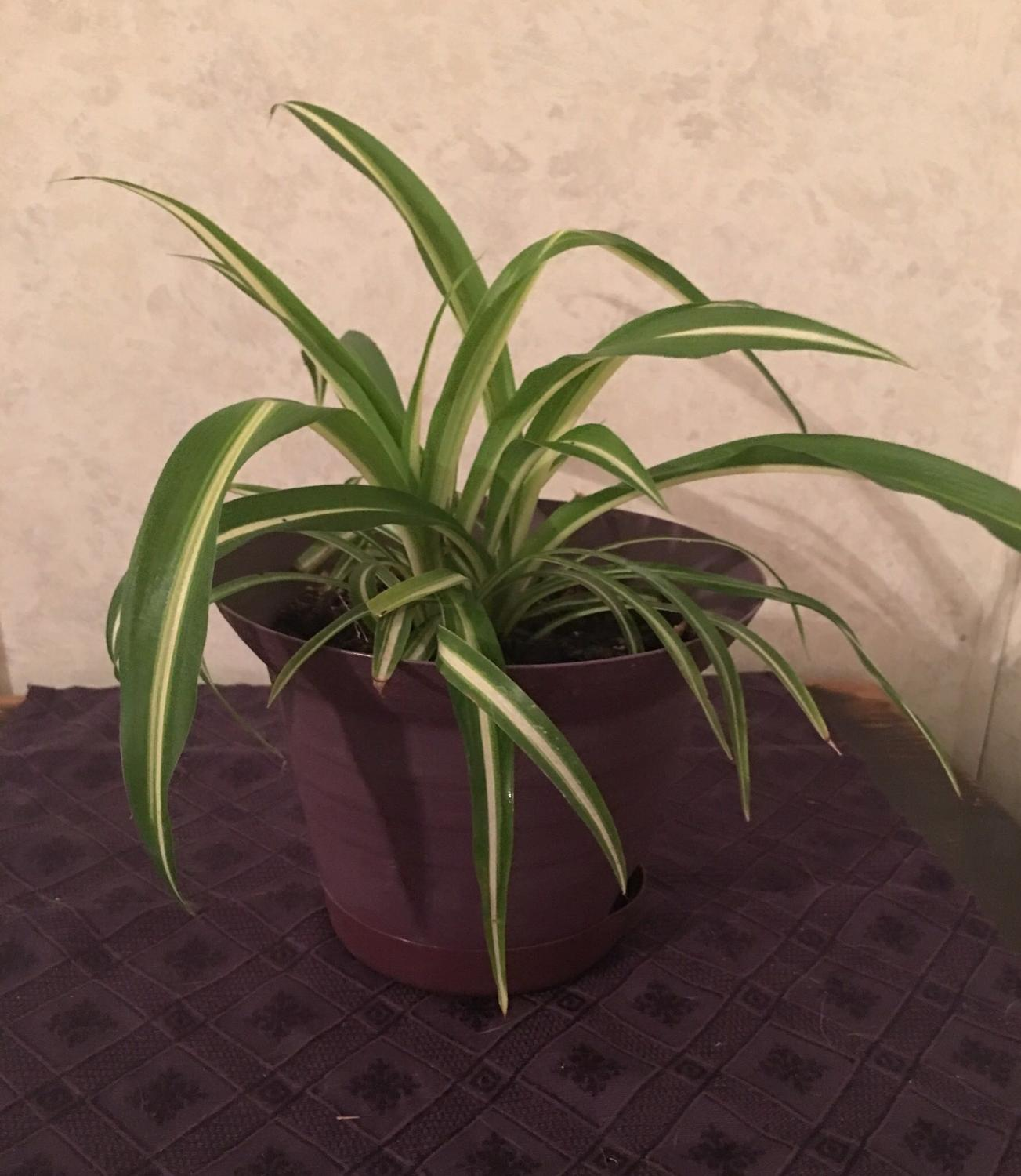find more another cute lil spider plant for sale at up to 90 off. Black Bedroom Furniture Sets. Home Design Ideas