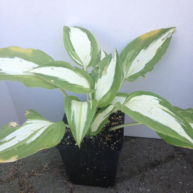Find More Hosta Night Before Christmas In 15cm For Sale At Up To