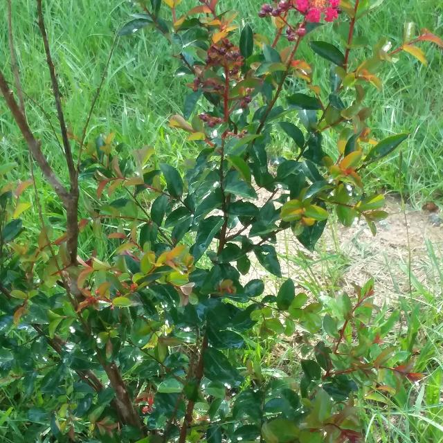 Best Crape Myrtle And Magnolia Trees For Sale In Griffin Georgia