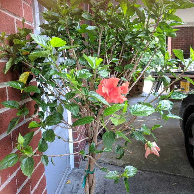 Find More 4ft Braided Hibiscus Deep Red Last One For Sale At Up To