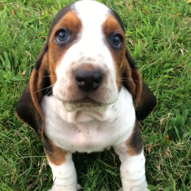 The Best Parrots In The World Basset Hound Puppies For Sale In Tn