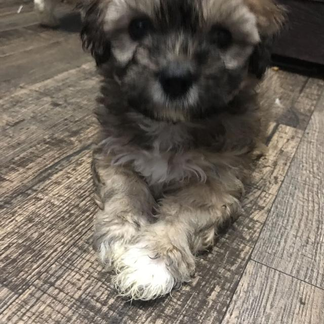 Find More Bichon Shihtzu Poodle Puppy For Sale At Up To 90 Off