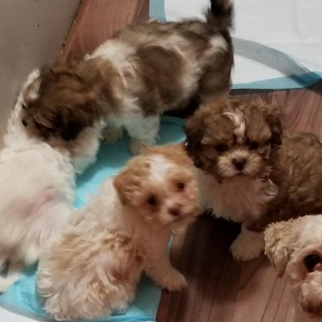 Best Dog Teddy Bear Pups Shih Tzu And Bichon Frise For Sale In