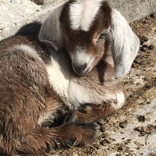 Nigerian and Nubian Bottle male baby goat