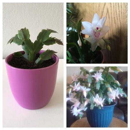 White Flowering Christmas Cactus for sale  Canada