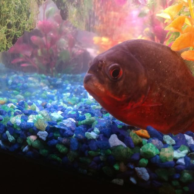 2 5yr old Red Belly Piranha