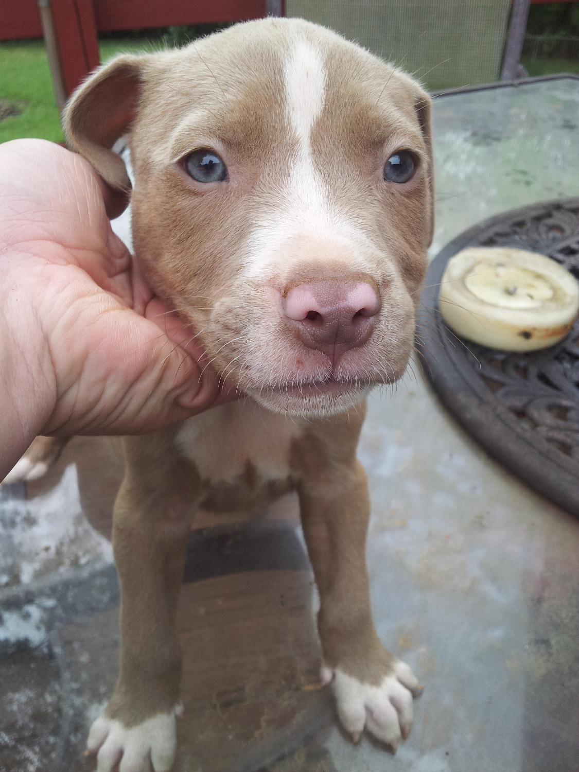 Best Red Nose Pitbull Puppies for sale in Victor Ashe Park ...