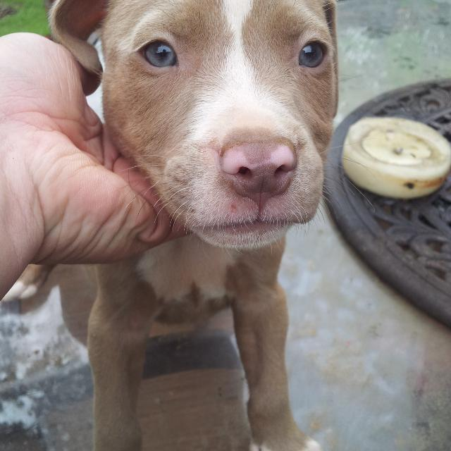 best red nose pitbull puppies for sale in victor ashe park