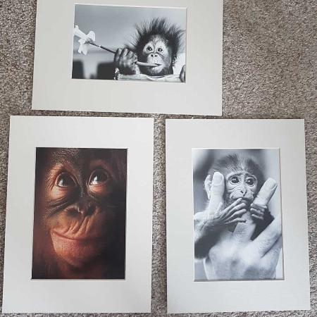 Used, Art Print set - baby chimpanzees... for sale  Canada