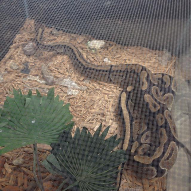 Indonesian Ball python w/ 50gal cage  No heating lamp