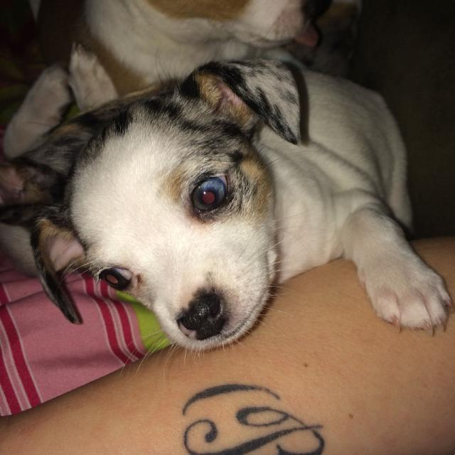 Best 1 Beautiful Blue Merle Chihuahua Left For Sale In Beaumont