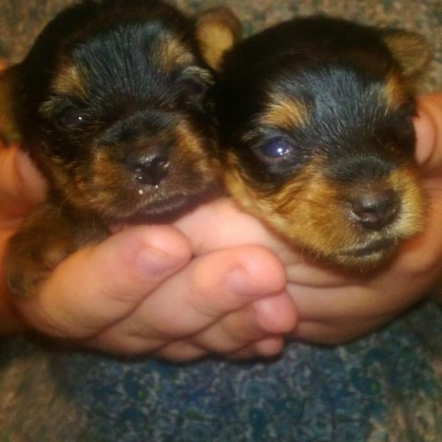 Best Teacup Yorkies For Sale In Little Falls Minnesota For 2019