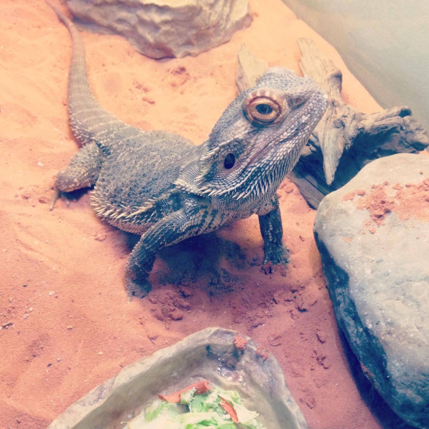 Best Bearded Dragon For Sale In Lindsay Ontario For 2020