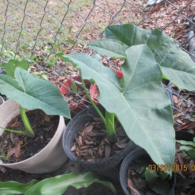 Best Elephant Ear Plants Likes Shade Water Lots Avail For Sale