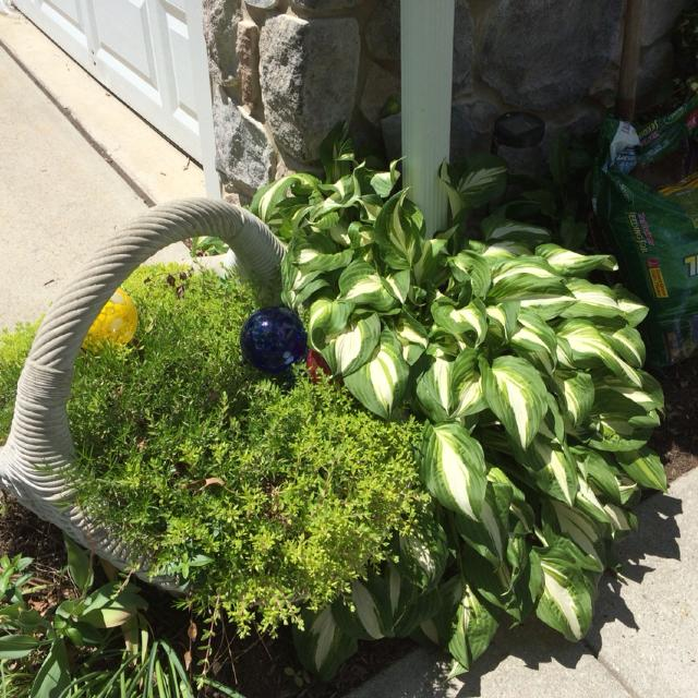 Find More Hostas Healthy And Hearty Perennial Happy In Shade Or Sun