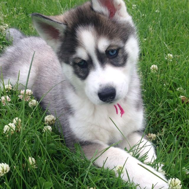 Best Female Siberian Husky Puppy Akc For Sale In Cameron Missouri