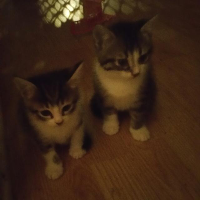 Best Seven Free Kittens! for sale in Shawnee, Oklahoma for 2019