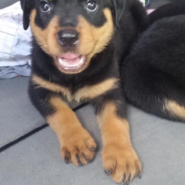 Best Akc German Rottweiler Puppies For Sale In Fairview Tennessee