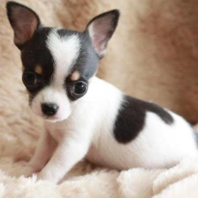 Found: ISO Teacup Chihuahua Puppies
