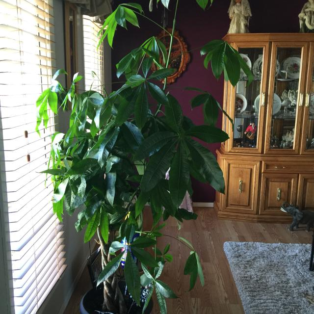 Find More This Plant Is Called A Money Tree It Stands Just Over 6ft