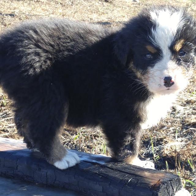 Beautiful Ckc registered Bernese Mountain Dog puppies for sale