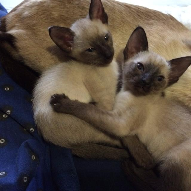 PUREBRED SEAL POINT CLASSIC SIAMESE KITTENS