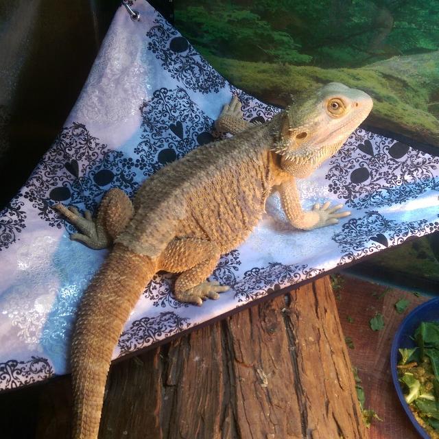 Best Bearded Dragon Reptile Hammocks For Sale In Gilbert