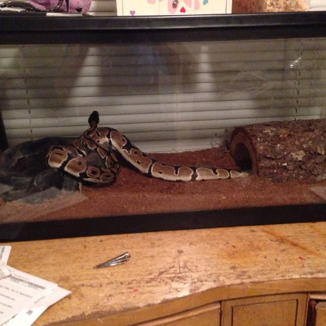 Best Ball Python For Sale In Louisville Kentucky For 2021
