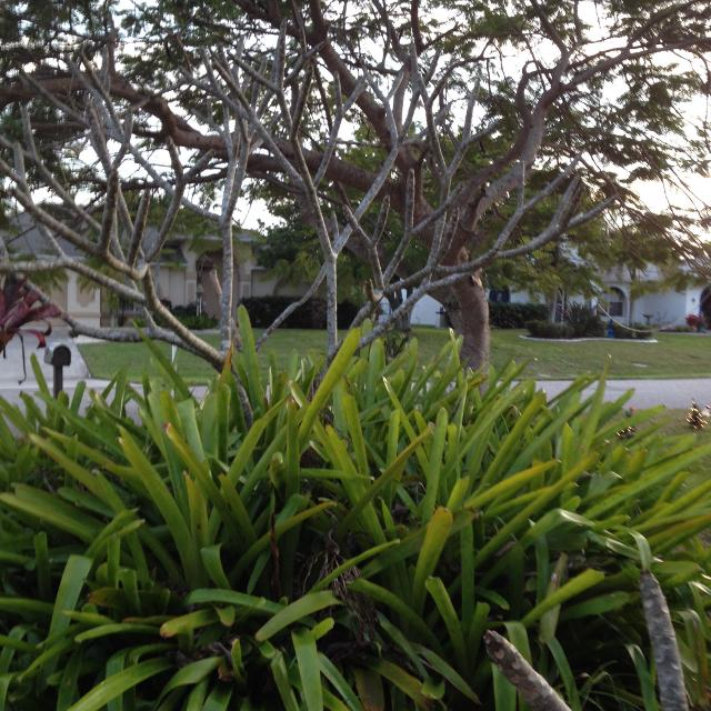 Best Bromeliads For Sale In Cape Coral Florida For 2019