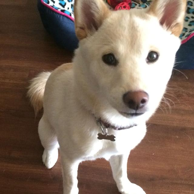 Best Shiba Inu Puppy For Sale For Sale In Austin Texas For 2019