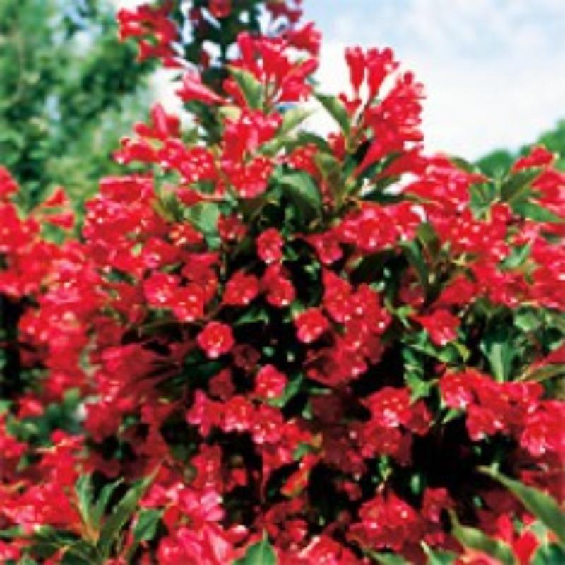 Find more Red Cardinal Weigela for sale at up to 90% off ...